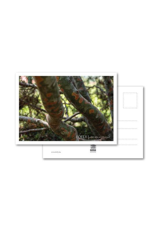 Folly Arborétum képeslap Pinus bungeana törzzsel
